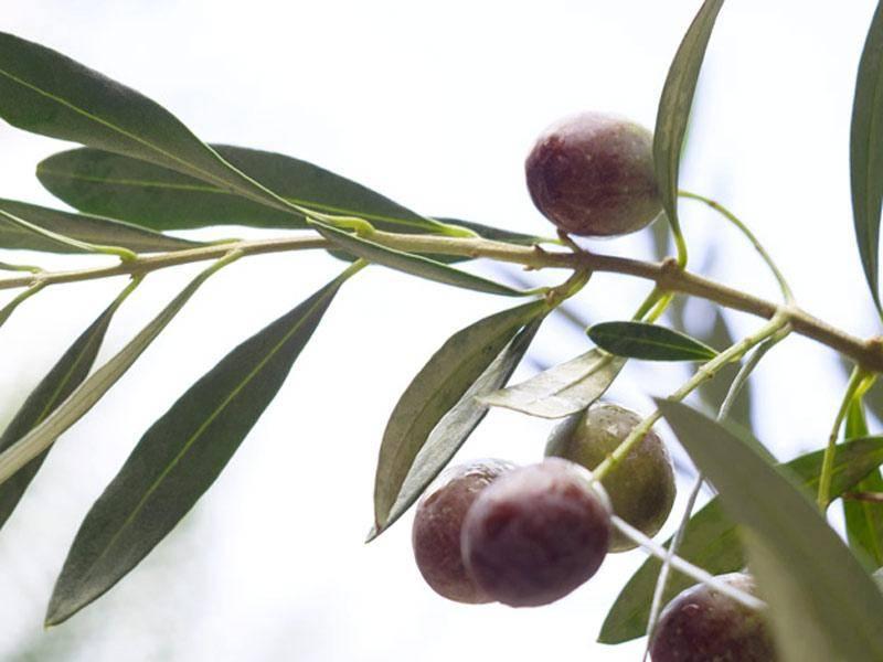 Che sapore ha Olife?