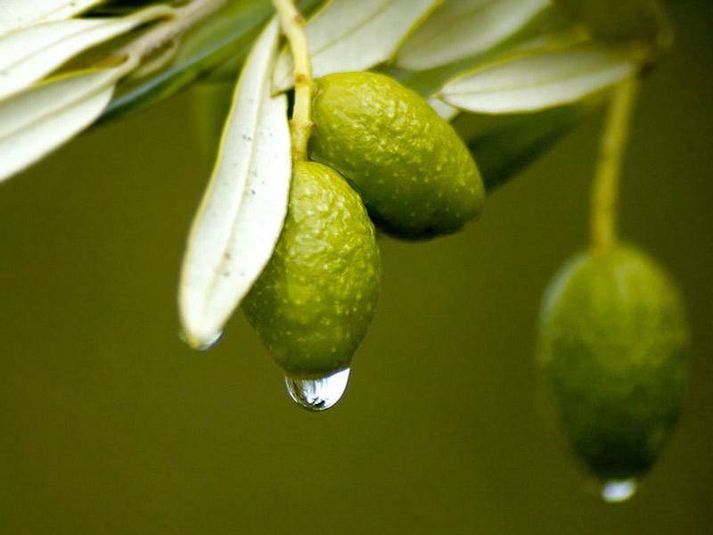 Le foglie di ulivo