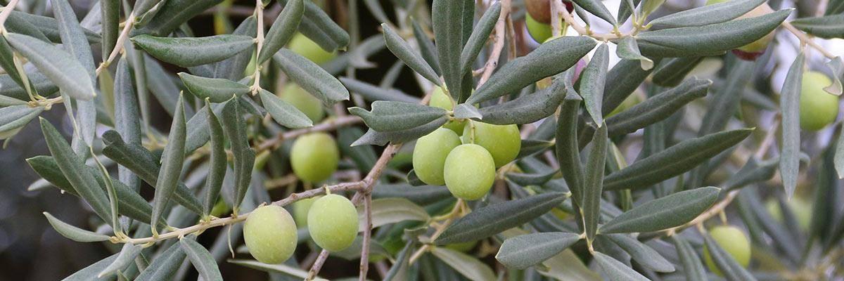 Olife estratto di foglie di olivo
